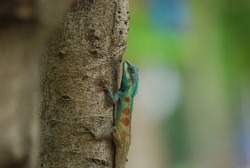 Blue-crested Lizard, Indo-Chinese Forest Lizard, Indo-Chinese Bloodsucker (Calotes mystaceus) on tree trunk in forest.