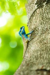 Blue Crested Lizard live on a tree in a park. Thaialnd
