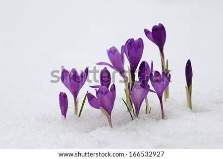 Blue crocus flowering from snow