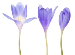 blue crocus flowers isolated on white background