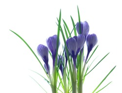 Blue crocuses isolated on a white background