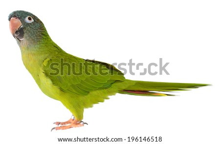 Blue Crown Conure Parrot  Cute Bird Images and Stock Photos