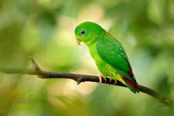 Blue-crowned hanging parrot, Loriculus galgulus, small mainly green parrot found, forest lowlands in southern Burma and Thailand in Asia. Green bird in the nature habitat.