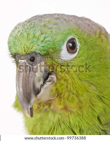 Blue-Crowned Mealy Amazon Parrot isolated on white
