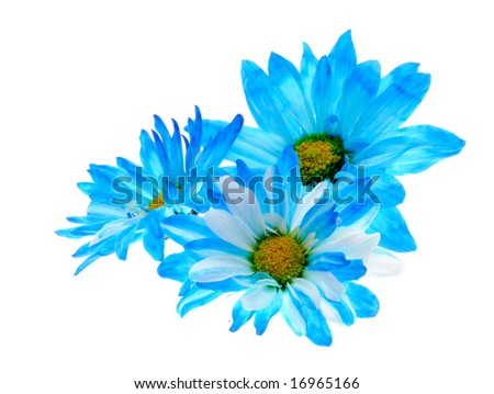 Blue Daisy Flowers Blue Daisy Flowers Isolated on