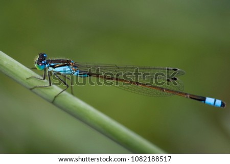 Blue Damselfly or Enallagma cyathigerum on leaf soft background