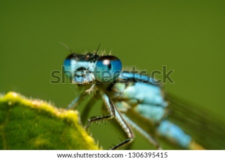 Blue damselfly portrait shot from the side with shiny eyes with reflection on them and clear spiky hair with a beautiful green background #1306395415