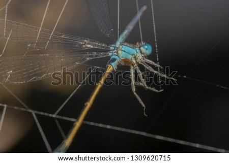 Blue Damselfly with an orange tail is stuck in spider webs. Damselfly almost looks like a puppet getting stuck in the webs #1309620715