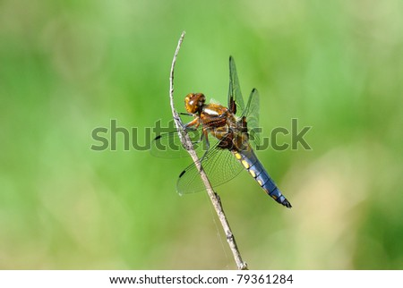 Blue Dasher Dragonfly, Pachydiplax longipennis - stock photo