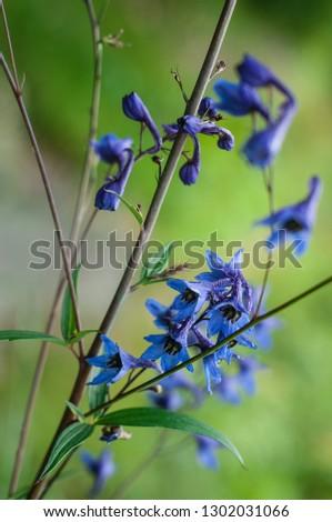 Blue Delphinium (Blue Mountain Larkspur, Dwarf Larkspur, Slim Larkspur) inflorescence, shallow DOF #1302031066
