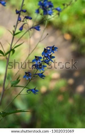Blue Delphinium (Blue Mountain Larkspur, Dwarf Larkspur, Slim Larkspur) inflorescence, shallow DOF #1302031069