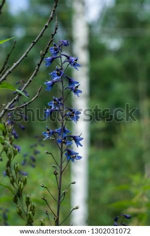 Blue Delphinium (Blue Mountain Larkspur, Dwarf Larkspur, Slim Larkspur) inflorescence, shallow DOF #1302031072