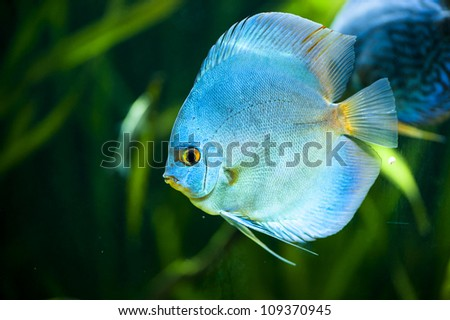 Blue Diamond Discus (Symphysodon aequifasciatus) -colorful tropical fish  of the Amazon basin close-up in aquarium