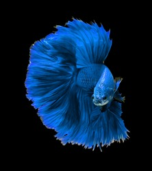 Blue dragon siamese fighting fish, betta fish isolated on black background.