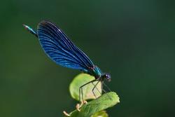 Blue dragonfly: beautiful demoiselle (calopteryx virgo)