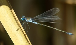 Blue dragonfly Enallagma cyathigerum, common blue damselfly, common bluet, or northern bluet