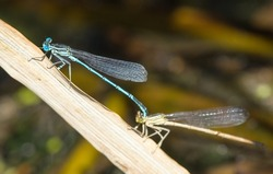 Blue dragonfly Enallagma cyathigerum, common blue damselfly, common bluet, or northern bluet during mating