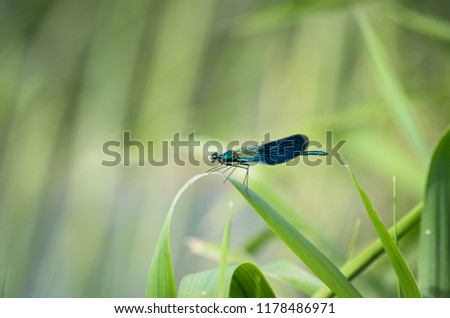 Blue Dragonfly Insect