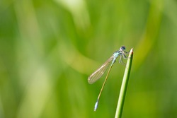 BLUE DRAGONFLY ON BLURRY NATURAL GREEN BACKGROUND, MACRO PHOTO OF HYMENOPTEROUS INSECTS, INVERTEBRATES SPECIES