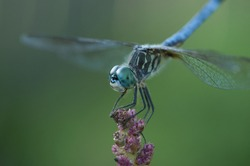 Blue dragonfly on purple inflorescence close-up.