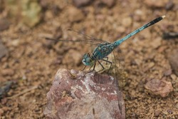 Blue dragonfly on the rock, dragonfly Is an insect that can fly quickly , Dragonflies have big eyes, almost full of their heads.