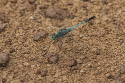 Blue dragonfly on the rock, dragonfly Is an insect that can fly quickly , Dragonfly has big eyes almost full head, macro blue dragonfly on the rock.
