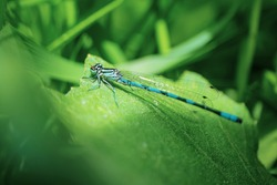 Blue dragonfly sits on a green blade of grass close-up. Macro photo. The concept of summer, insects. Copyspace.