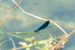 blue dragonfly sitting on a blade of yellow grass at water