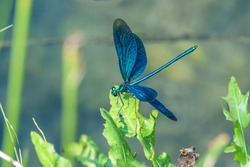 blue dragonfly with open wings sitting on green leaf by a creek