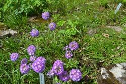 Blue Drumstick Primrose (Primula denticulata)