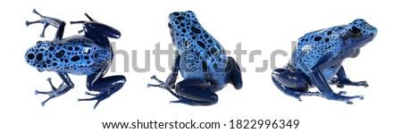 Blue dyeing dart frog Dendrobates tinctorius azureus isolated on white background, close-up. Environmental protection. Herpetology, zoology, graphic resource, collage, image set Stock foto ©