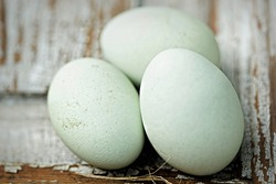 Blue eggs Araucana