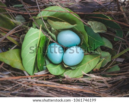 Blue Eggs in Bird's Nest , White-vented Myna , Acridortheres javanicus. Stock fotó ©