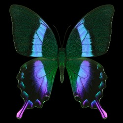 Blue emperor butterfly isolated on a black background with clipping path