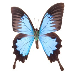 Blue emperor butterfly isolated on a white background with clipping path