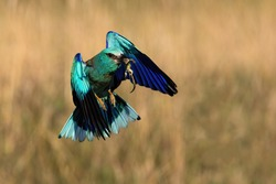 Blue european roller, coracias garrulus, flying with a catch in beak in spring.Vivid animal with wings landing in nature with copy space. Wild creature in the air outdoors.