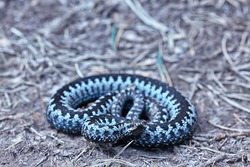 blue european viper, striped venomous dangerous snake nature wild