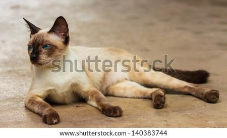 blue eye and brown hair thai cat
