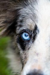 blue eye of a dog