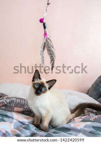 Blue eyed Balinese pedigree cat #1422420599