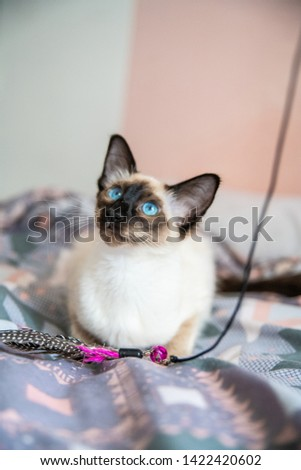 Blue eyed Balinese pedigree cat #1422420602