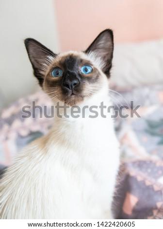 Blue eyed Balinese pedigree cat #1422420605