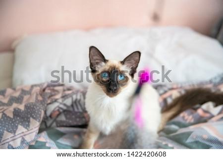 Blue eyed Balinese pedigree cat #1422420608