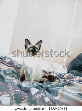 Blue eyed Balinese pedigree cat #1422420611