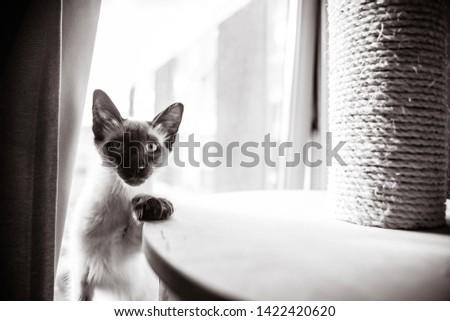 Blue eyed Balinese pedigree cat #1422420620