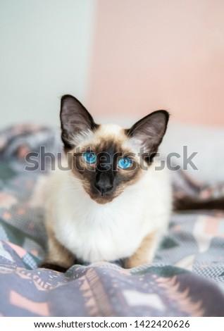 Blue eyed Balinese pedigree cat #1422420626