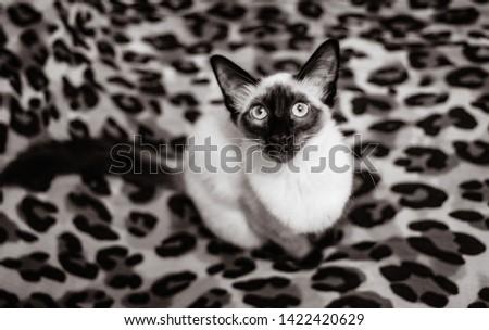 Blue eyed Balinese pedigree cat #1422420629