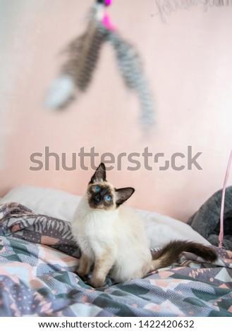 Blue eyed Balinese pedigree cat #1422420632
