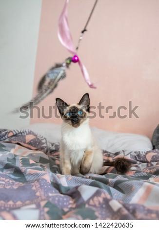 Blue eyed Balinese pedigree cat #1422420635
