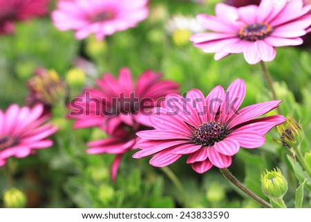 Blue-eyed Daisy,African Daisy,Cape Daisy,Spoon Daisy,red with purple African Daisy flowers in full bloom in the garden